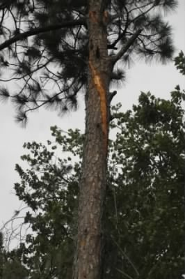 Tree hit by lightning