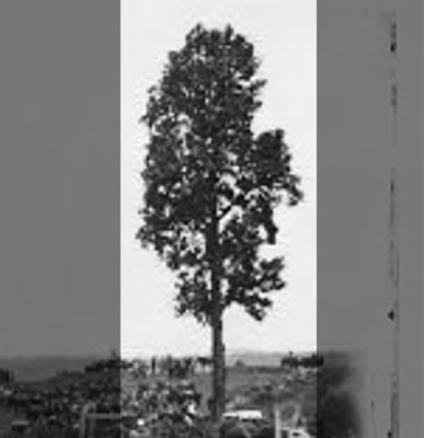 This 90 foot Tulip tree was struck by lightning in 1876 and was removed 10 years later.